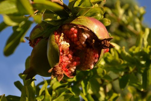 pomegranate fruit southern fruits