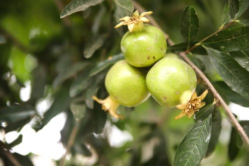 pomegranate  pomegranate-raw  green