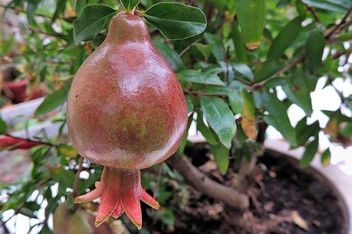 pomegranate  pomegranate tree  red
