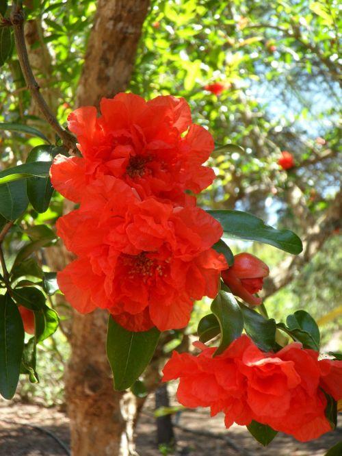 pomegranate pomegranate blossom blossom