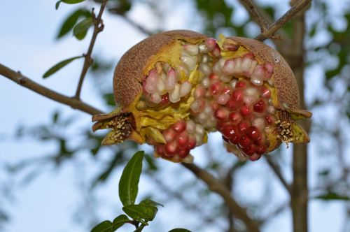 pomegranate fruit puglia