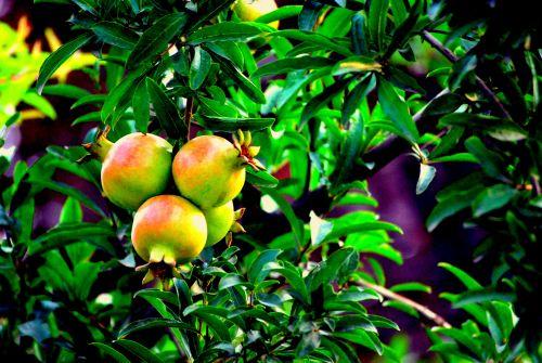 Pomegranate Cluster