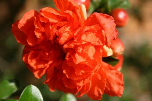 gėlė, žydėti, oranžinė, šviesus, žiedlapiai, subtilus, trapi, minkštas, laisvai & nbsp, sutvarkyta, žaluma, granatinė gėlė