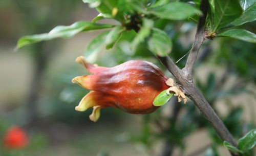 Pomegranate Fruit Forming