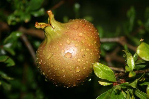 Pomegranate Ripening
