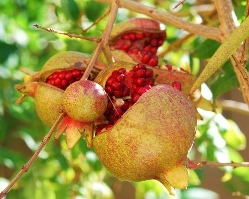 pomegranates fruit passion