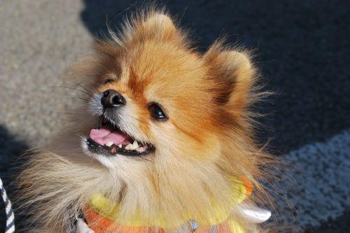pomeranian dog smile