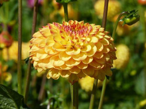 pompom dahlia flowers