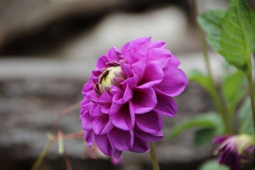 pompon dahlia  dahlia purple  dahlia