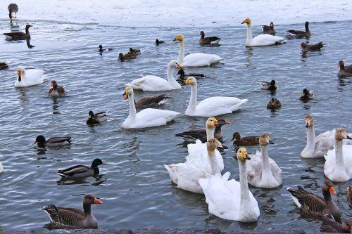 pond lake swans