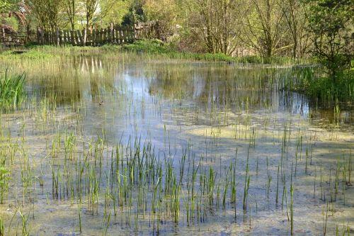 pond schilff water