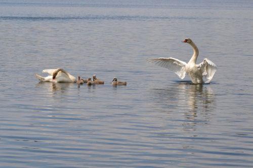 pond swan mute swan
