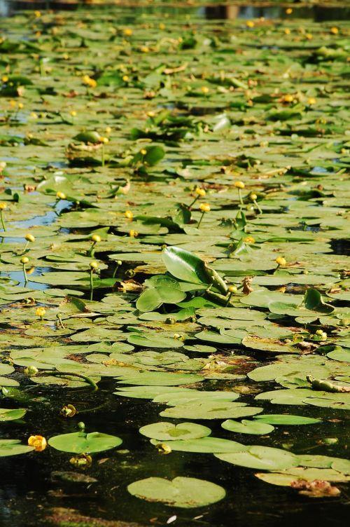 tvenkinys,teichplanze,žalias,vandens lelija,ežeras pakilo,vanduo,sodo tvenkinys,augalas