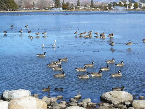 pond canadian geese migration