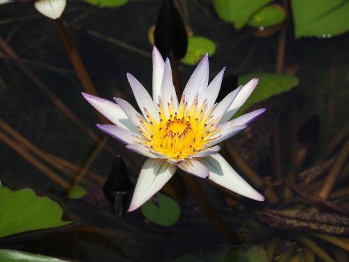 pond purple nymphaea alba