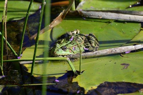 pond  water frog  frog pond