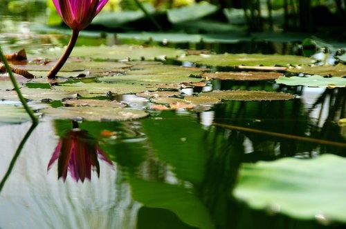 pond  pond plant  nature