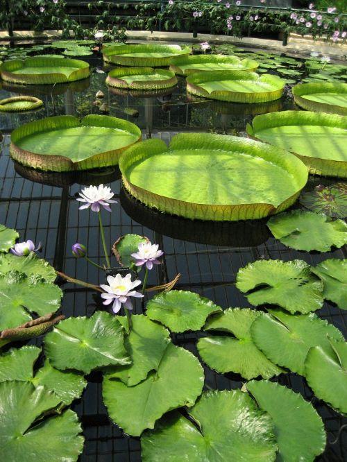 tvenkinys,lelija,kew sodai,botanikos,botanikos,gėlė,žalias,vanduo,botanika,sodas,kew,žydi,švarus,spalva,spalvinga,flora,ramus,vandens,šiltnamyje,milžinas