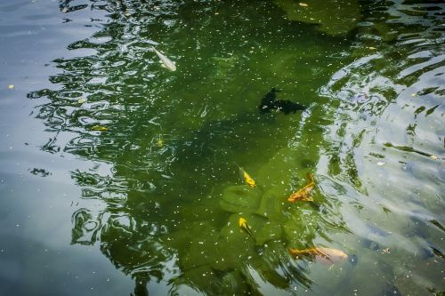 pond fish nature