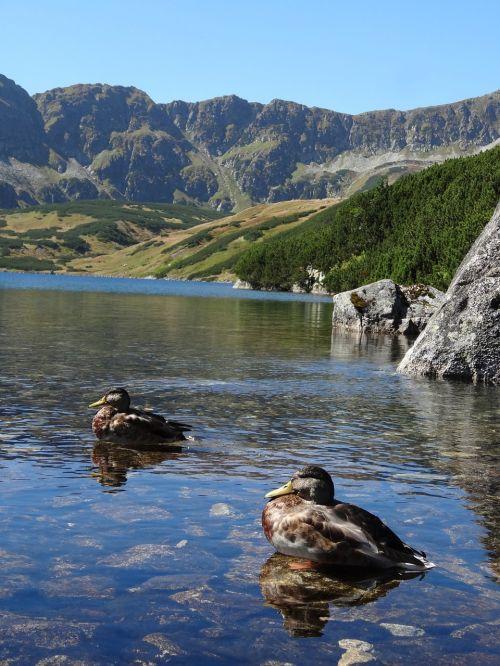 tvenkinys, vanduo, kalnai, gamta, kraštovaizdis, gyvūnas, paukštis, tatry, antis, antis