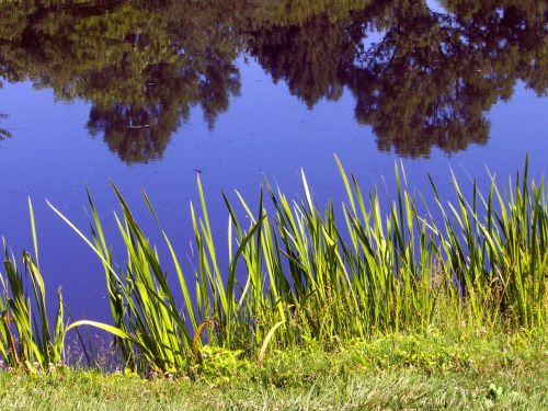 Pond And Weeds