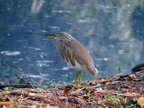 pond heron bird avian