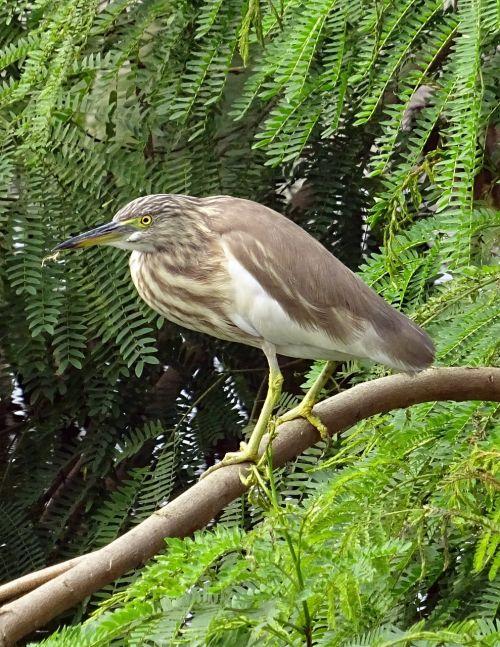 pond heron bird fauna