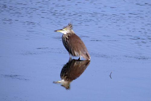 pond heron bird reflection