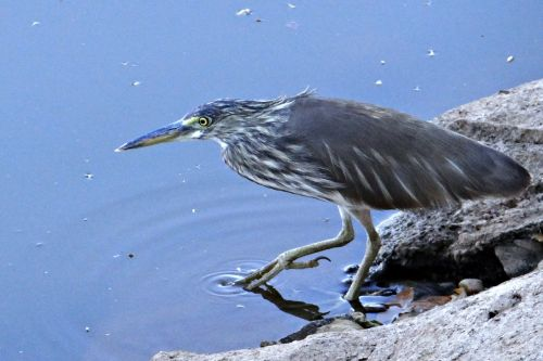 pond heron stalking paddy bird