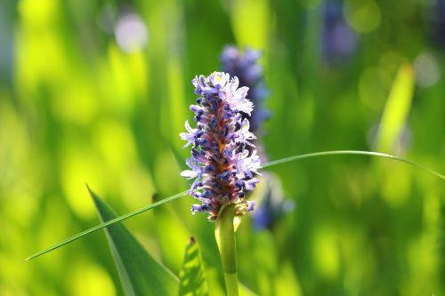pond plant flourished violet