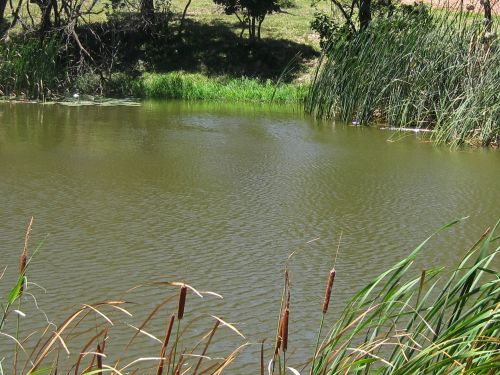 Pond With Bulrushes