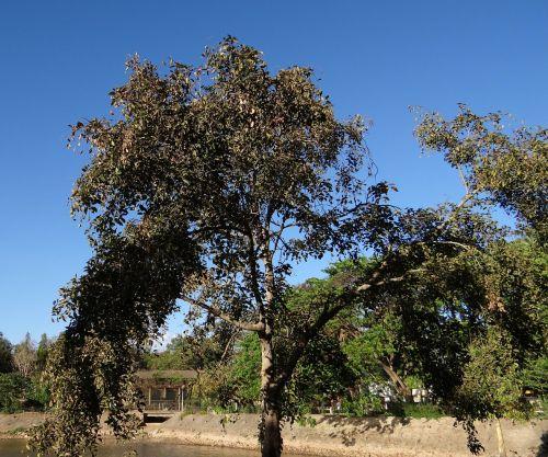 pongamia pinnata indian beech tree honge