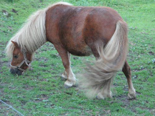pony shetland pony pasture