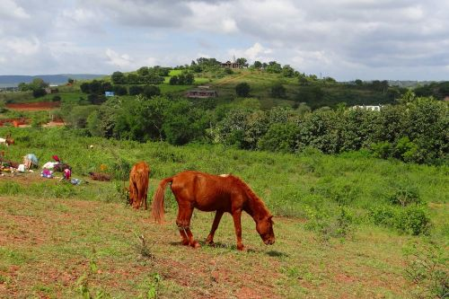 pony pack animal lambadi