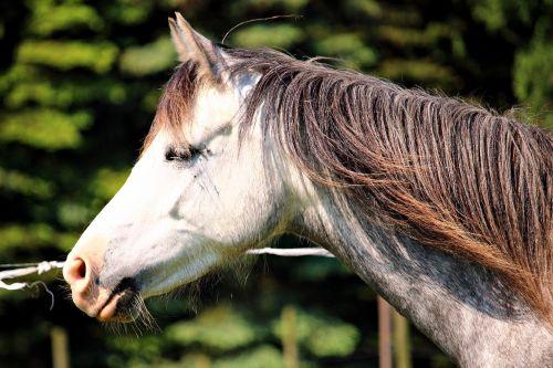 pony horse welsh