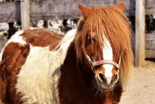 pony horse brown