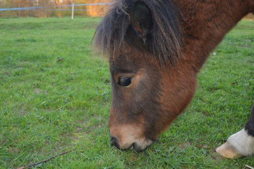 pony shetland pony young pony