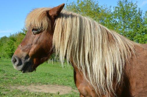 pony  shetland pony  small horse