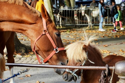 pony  animal  mane