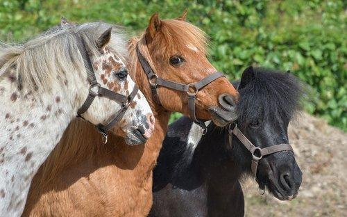 pony  three  head