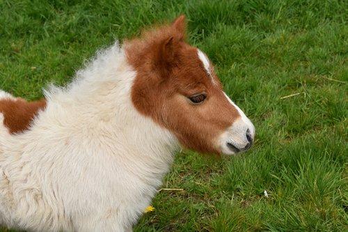pony  shetland pony  shetland pony jarod
