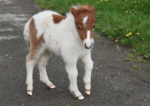 pony  shetland pony  pony-hoof white