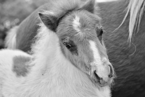 pony  black and white photo  shetland pony jarod