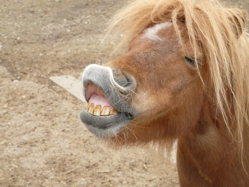 pony horse making a face