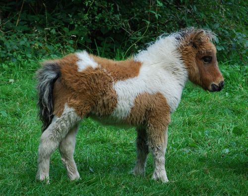 pony animal cute