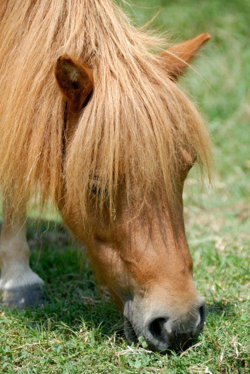 Pony Feeding On Grass