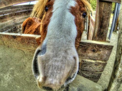 Pony Snout