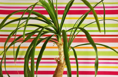 uodegos augalas,beaucarnea guatemalensis,Meksika,Gelės vazonas,žalia augalas,pasodintas augalas