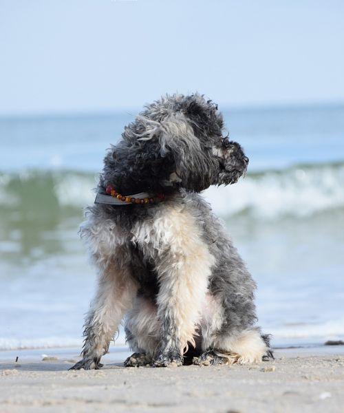 poodle dog miniature poodle