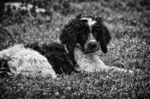 poodle puppy dog